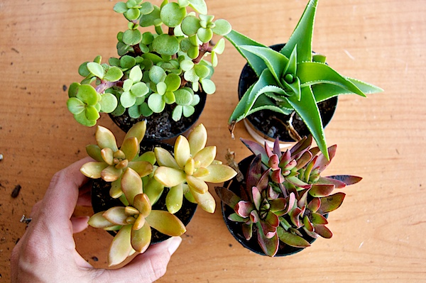 Nettio CA1 succulents12