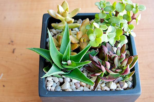 Nettio CA1 succulents14