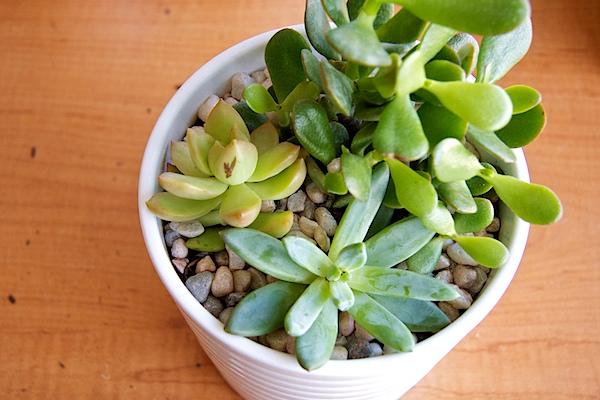 Nettio CA1 succulents15