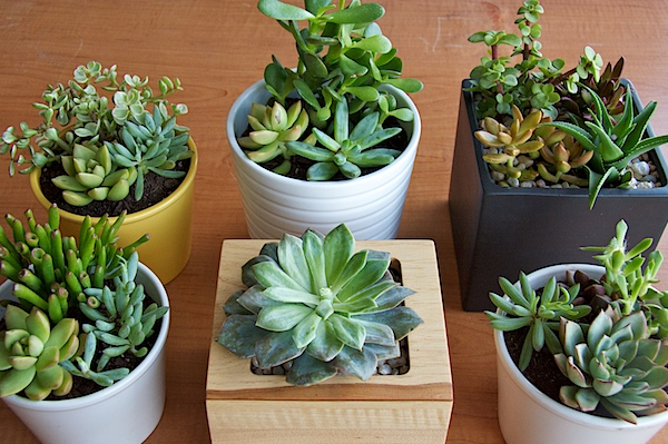 Nettio CA1 succulents18