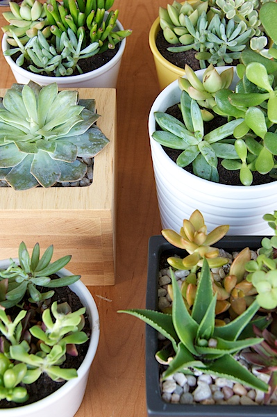 Nettio CA1 succulents22
