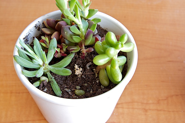 Nettio CA1 succulents8